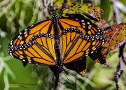16th Nov 2019 - Monarch Butterlies