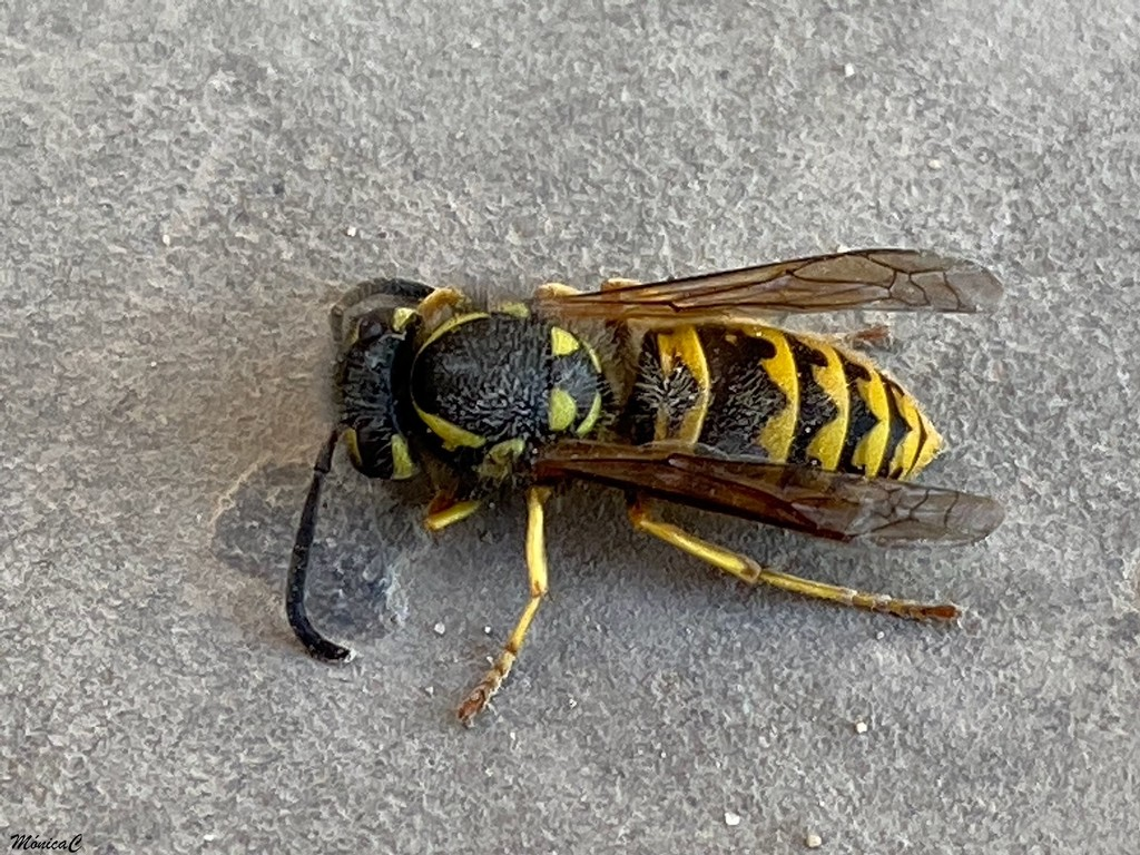 Wasp by monicac