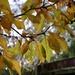 Magnolia in Autumn