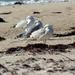 Y10 M11 D320 Sleeping Gulls