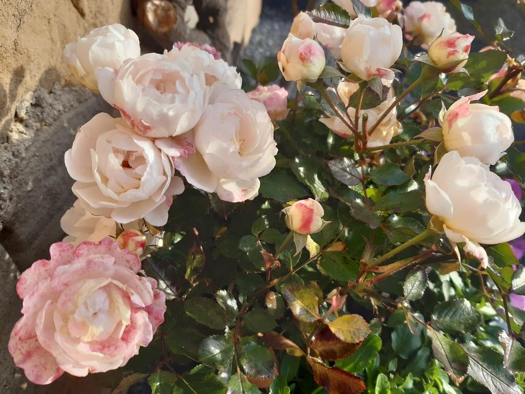 Roses at the door  by sarah19