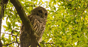 16th Nov 2019 - Late Afternoon Barred Owl!