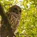 Late Afternoon Barred Owl!