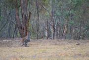 17th Nov 2019 - Wallaby