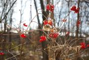 17th Nov 2019 - berries