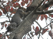 17th Nov 2019 - Squirrel Climbing Tree