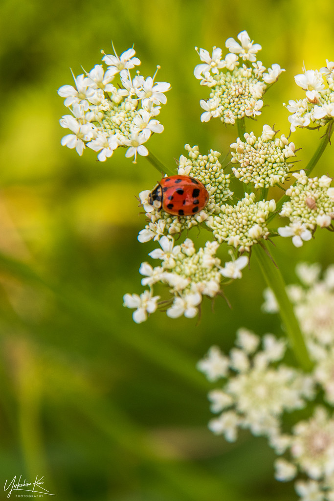 Ladybird and Queen Anne's lace by yorkshirekiwi