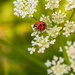 Ladybird and Queen Anne's lace