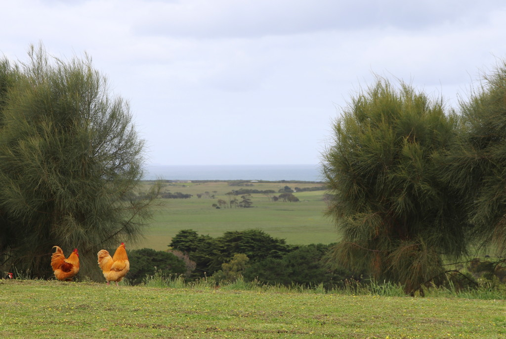 Chooks admiring the view! by gilbertwood