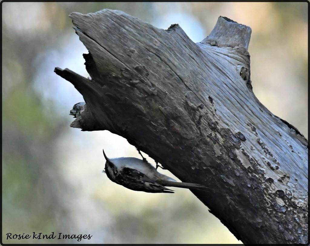 RK3_5866 Tree creeper by rosiekind