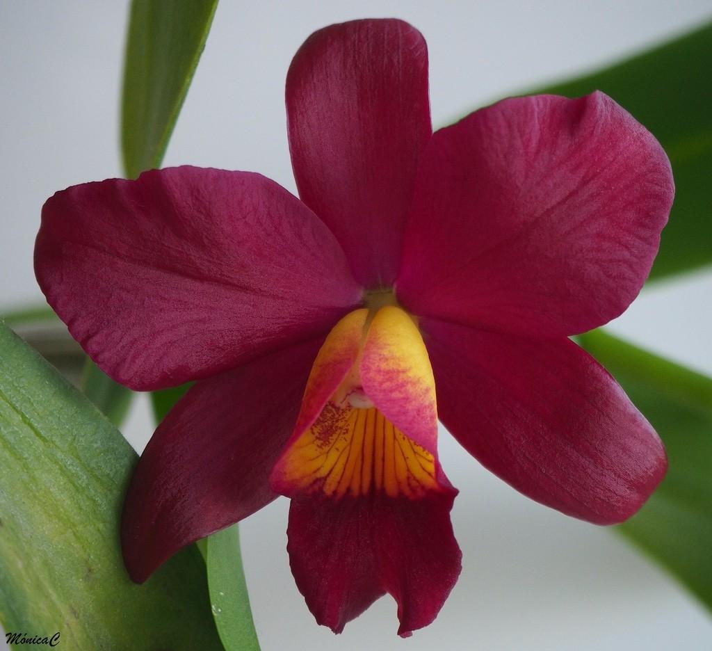 Cattleya  by monicac