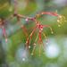 Maple Twig