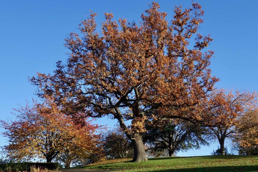 Oak tree by rosie00