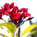 The first of the frangipani's