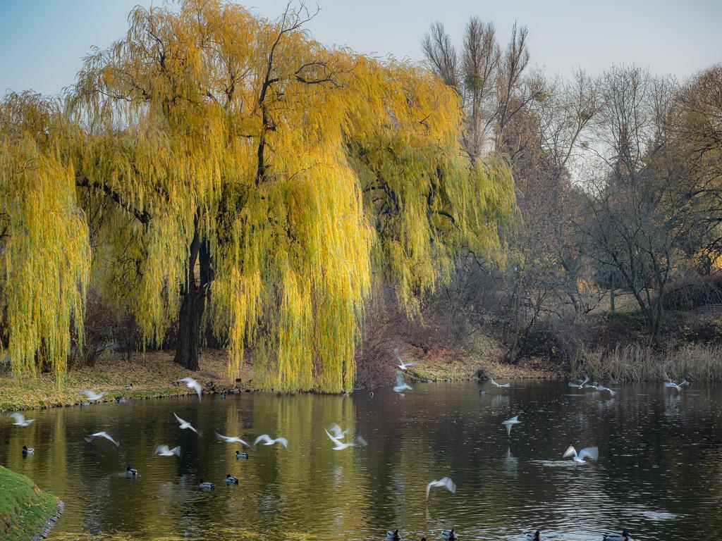 Weeping Golden Willow by haskar