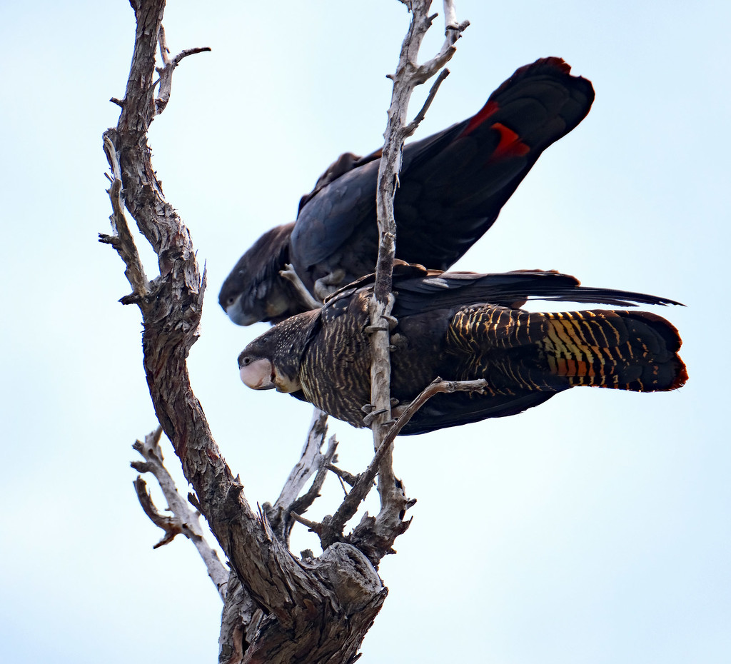 Red tailed black cockatoos - Wireless Hill, Perth Western Australia by maureenpp