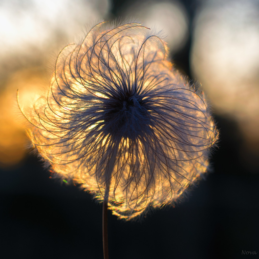 Clematis seed head by novab
