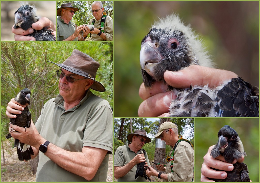 Banding Endangered Carnaby's Black Cockatoo Chicks DSC_5158 by merrelyn