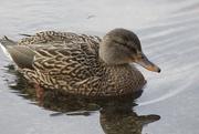 19th Nov 2019 - Little duck