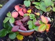 19th Nov 2019 - strawberry leaves