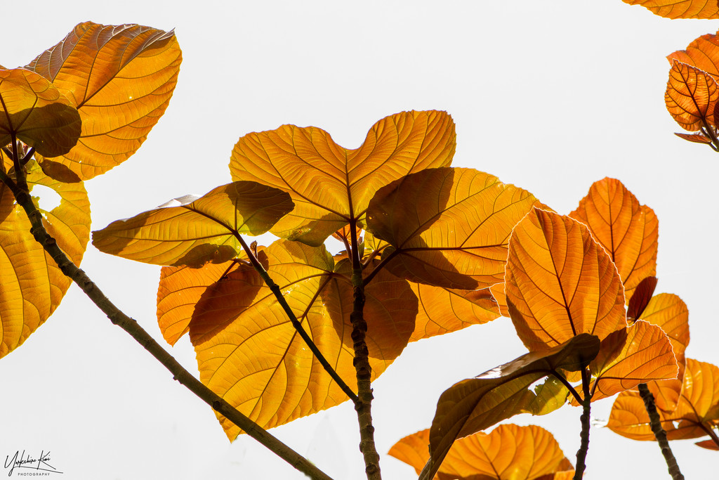 Back lit leaves by yorkshirekiwi
