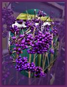 20th Nov 2019 - Purple Berries