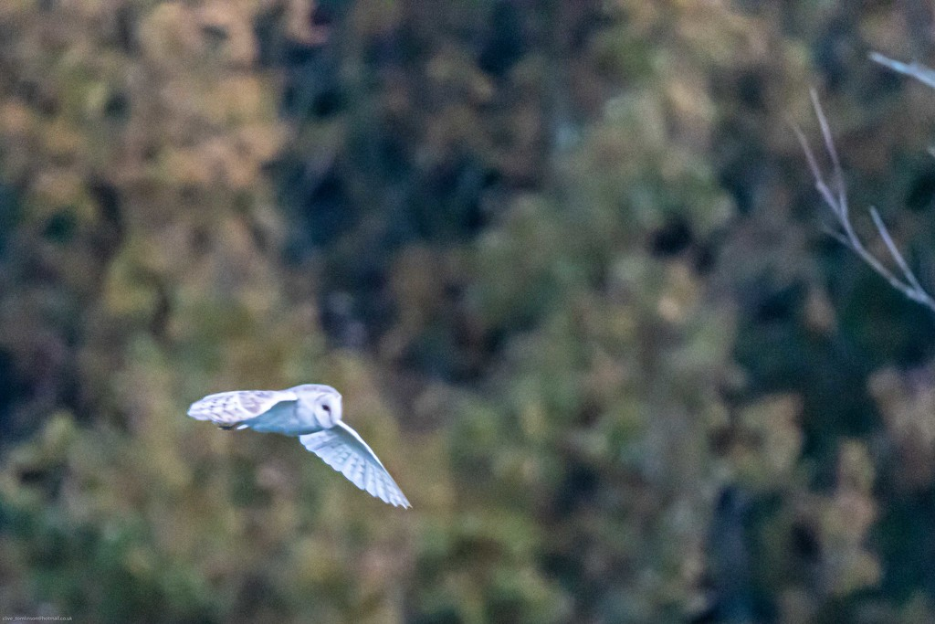 Barn Owl on the way to hunt by padlock
