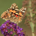 Apparently, it's now the Painted Lady time of year