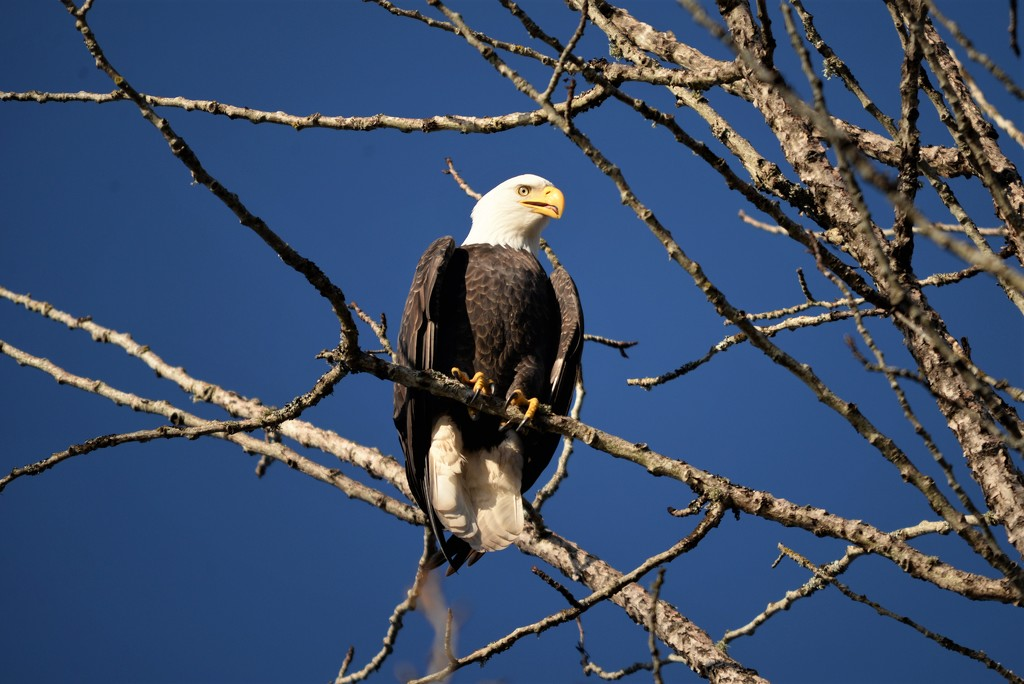 The Bald Eagle by fayefaye