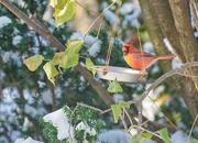 20th Nov 2019 - Winter Cardinal
