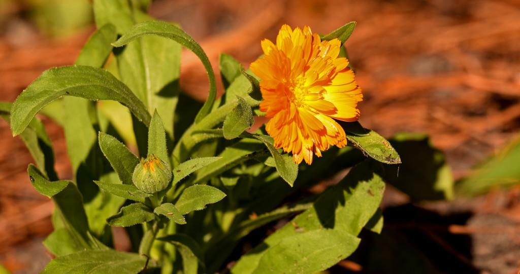 Orangish/Yellowish Flower! by rickster549