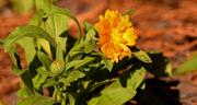 20th Nov 2019 - Orangish/Yellowish Flower!