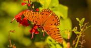 20th Nov 2019 - Gulf Fritillary Butterfly!