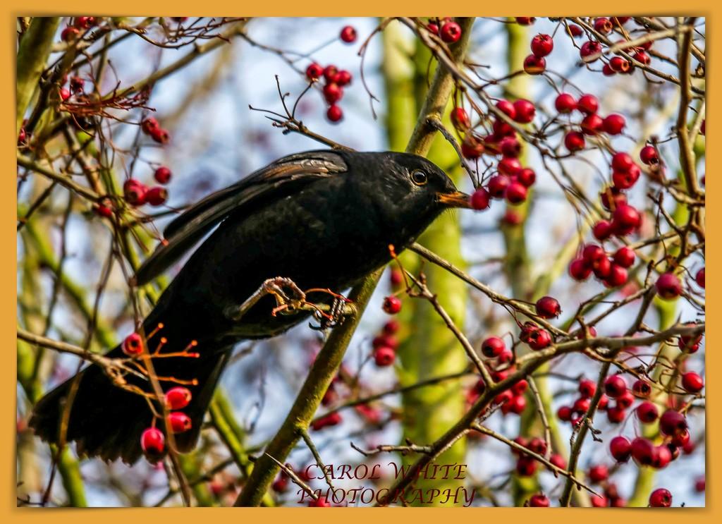 Blackbird And Berries by carolmw