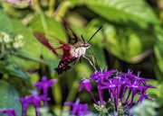21st Nov 2019 - Hummingbird Clearwing Moth