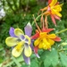 Columbines by pusspup