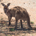 Bush Kangeroo