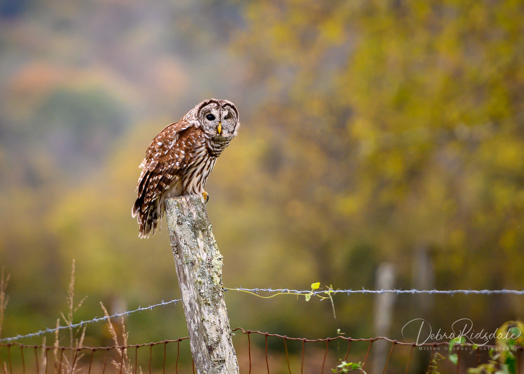 Barred Owl  by dridsdale