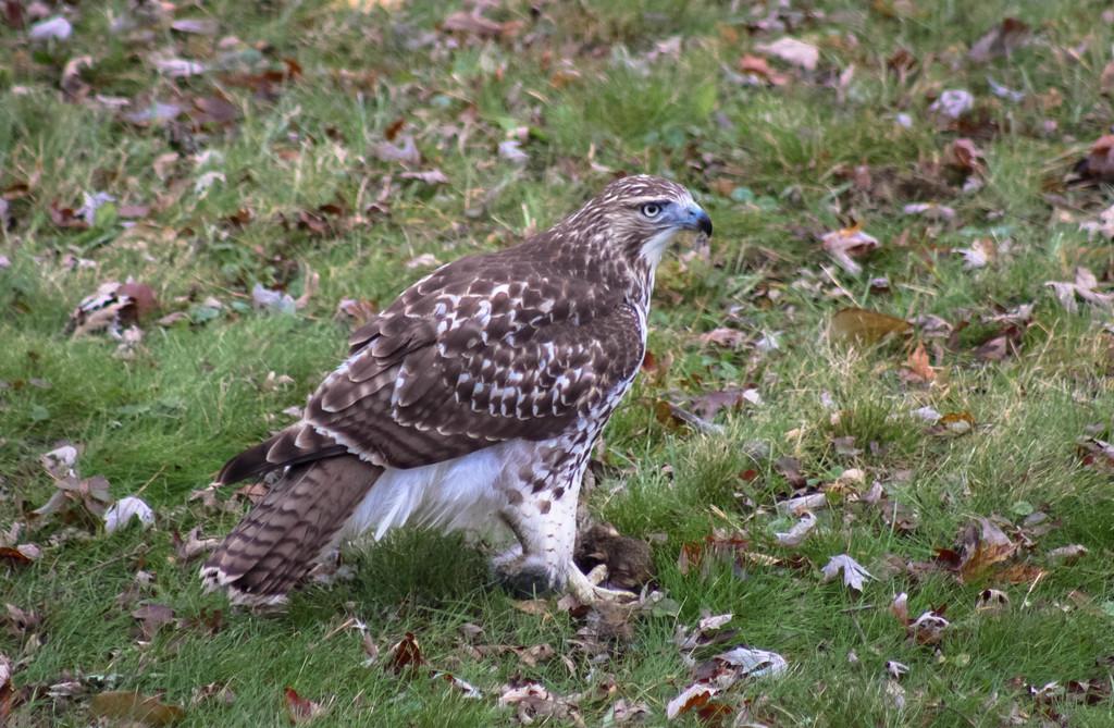 Hawk having breakfast by mittens