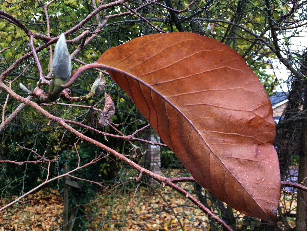 Old, dead leaf alongside new green bud????? Surely it isnt Spring already.... by 365anne