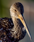 23rd Nov 2019 - Portrait of a Limpkin