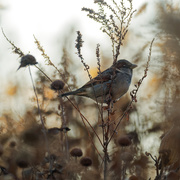 22nd Nov 2019 - house sparrow in fall wildflowers