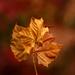 brown leaf by jernst1779