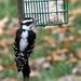 Backyard Birds #3643 - Downy Woodpecker