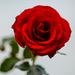 Red rose by elisasaeter