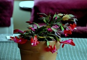"23rd Nov 2019 - My Thanksgiving ""Christmas Cactus"""