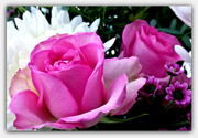 24th Nov 2019 - Pink Roses