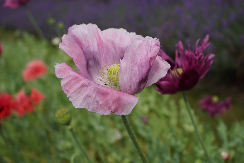 summer poppies by quietpurplehaze