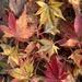 Japanese maple leaves by rontu