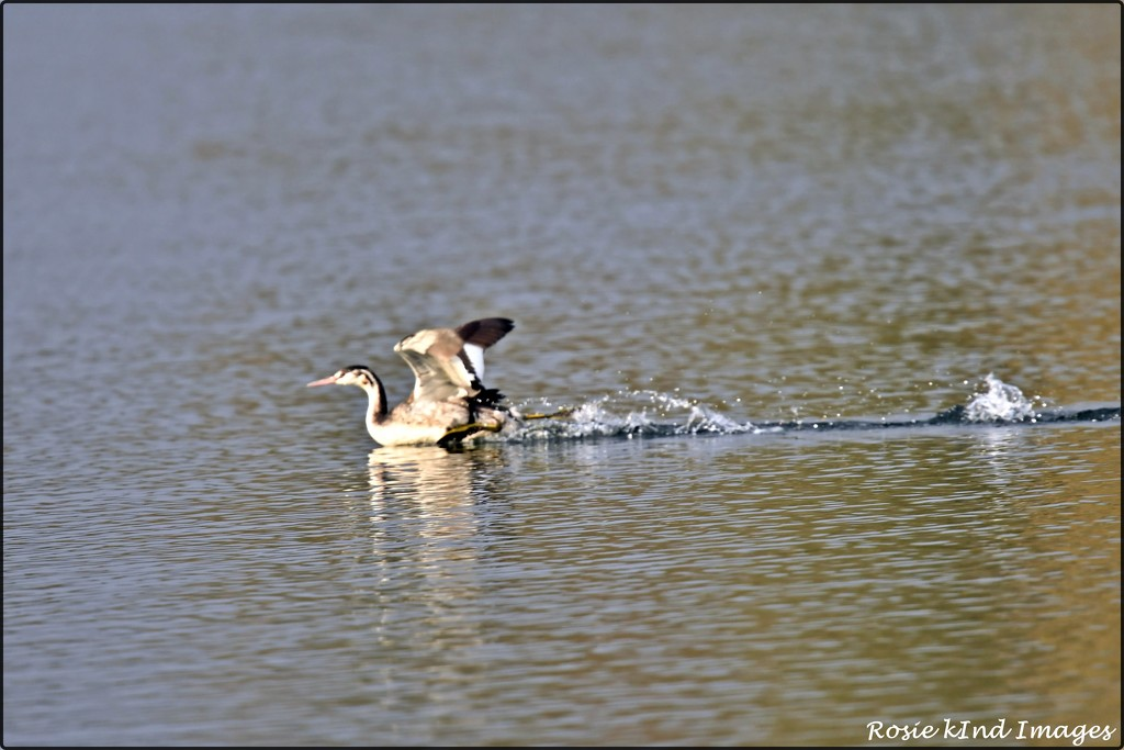 RK3_6045  Great crested grebe by rosiekind